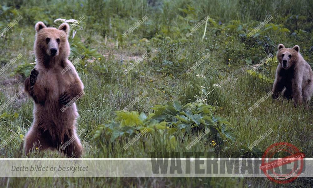 Brunbjørn i Alaska